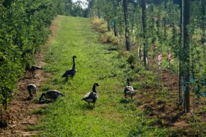 Canada geese in apple orchard