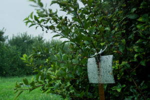 Brown marmorated stink bug trap in rainy, windy apple orchard