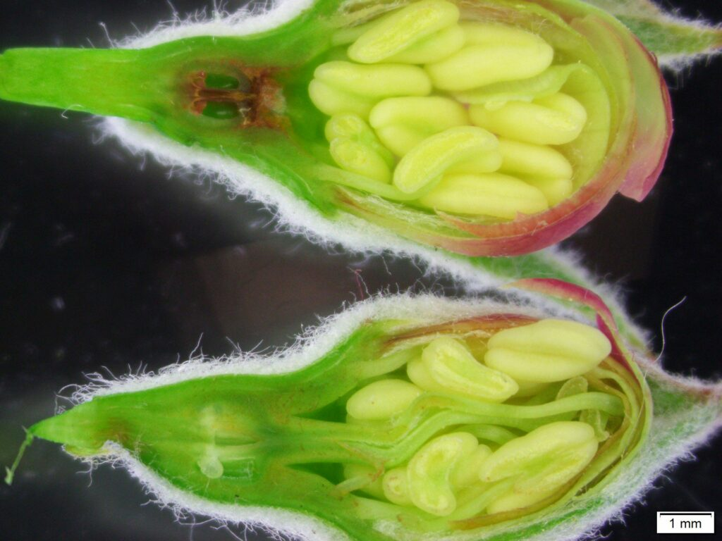 Longitudinal section of an apple blossom at tight cluster. Image by Tatiana Zuber, NC State.