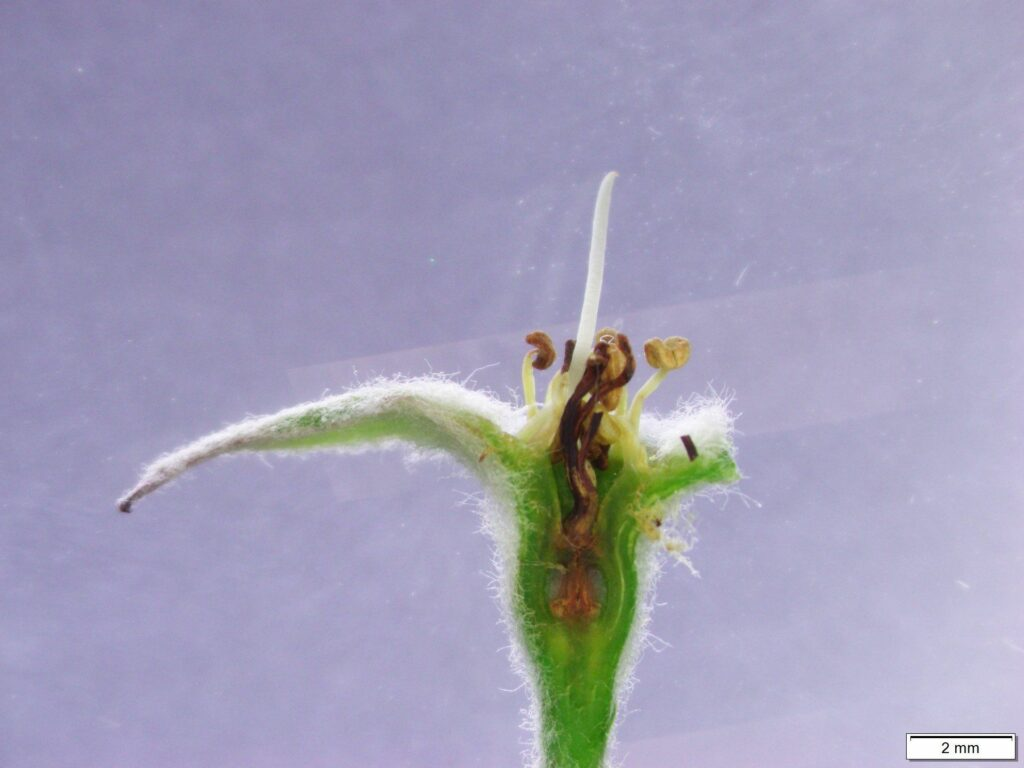"""Apple blossom with visible injury to the pistil. Any blossoms exhibiting browning/discoloration of the pistil was categorized as """"dead"""". Photo by Tom Kon, NC State."""