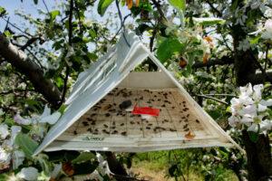 Oriental fruit moths in trap
