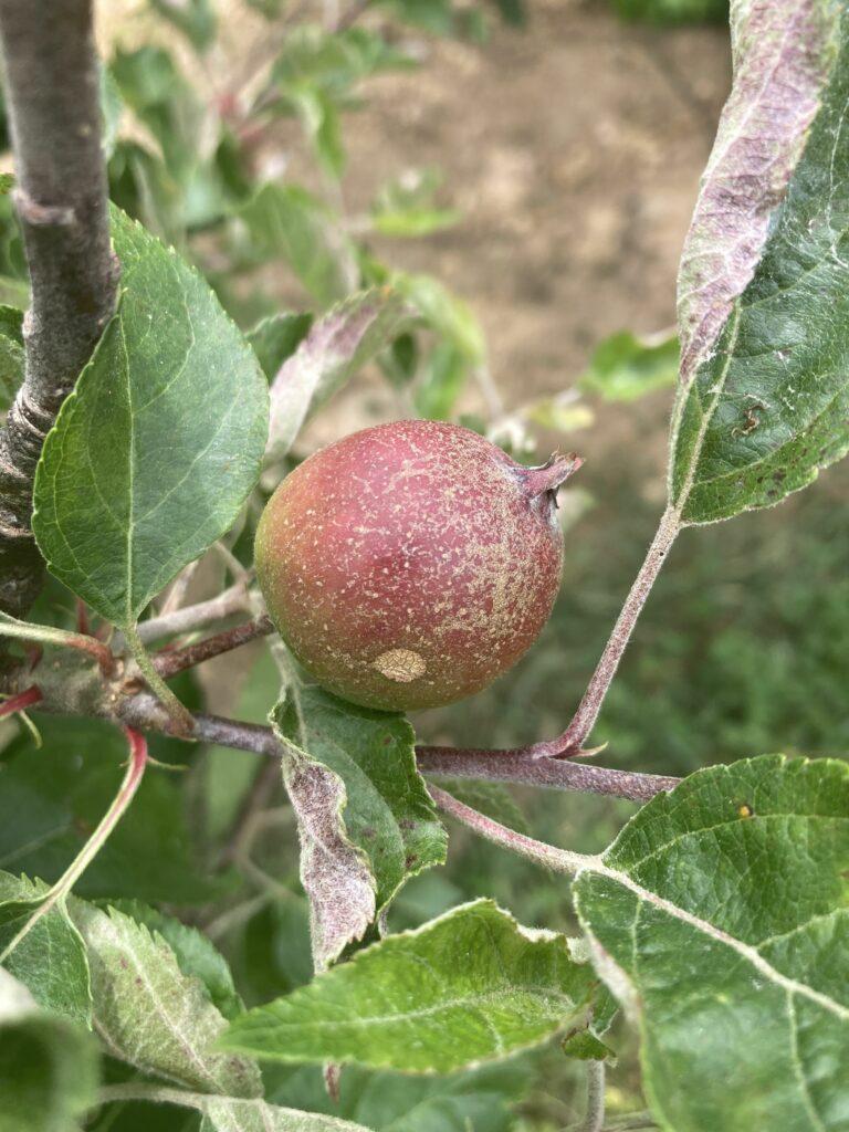 Powdery mildew causing russeting on fruit