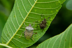 Newly-molted adult brown marmorated stink bug and nymph