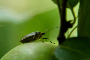 Stink bug on apple