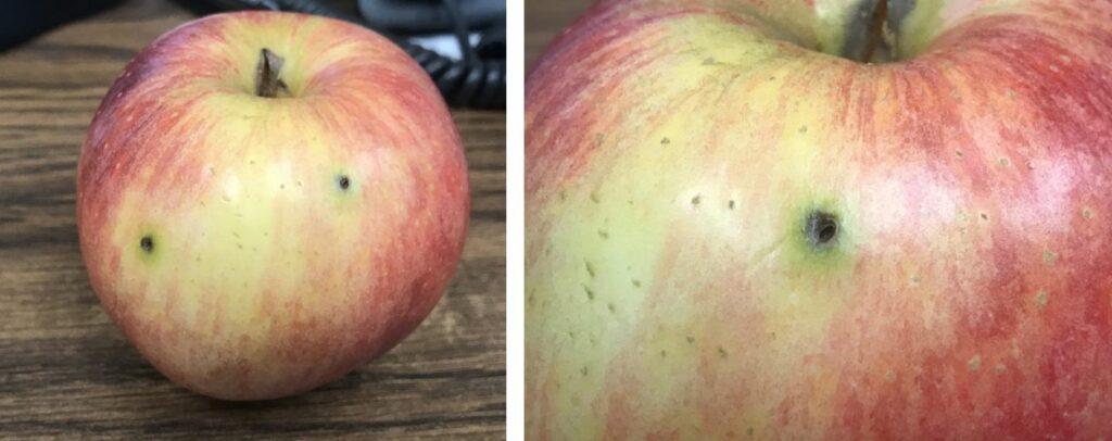 Suspected first generation adult plum curculio damage