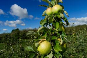 Apples on apple tree