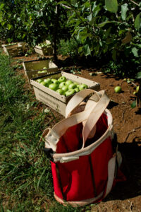 Apples in basket with picking sack
