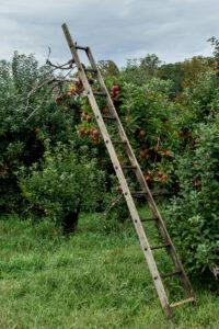Ladder in apple orchard at harvest